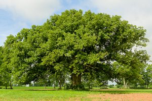 A huge old bur oak with an enormous canopy but only 45 feet tall.