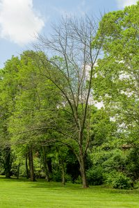 Ash trees can be saved if treated prior to infestation, but this is not practical for most trees.