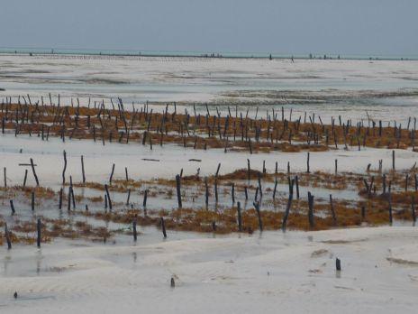 Coltivazione di alghe a Jambiani