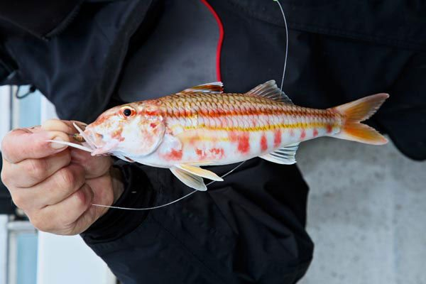 species ID red mullet