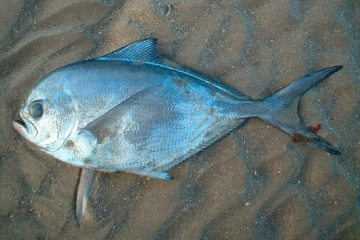 species ID rays bream