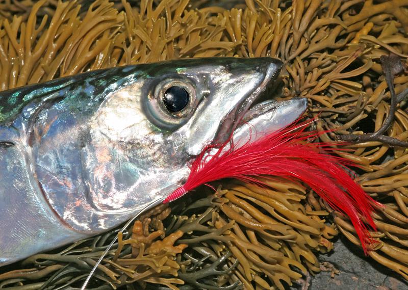 a mackerel taken on feathers