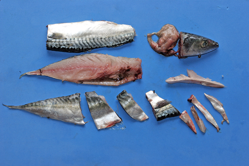 Mackerel and other fish baits planet sea fishing for How to freeze fish