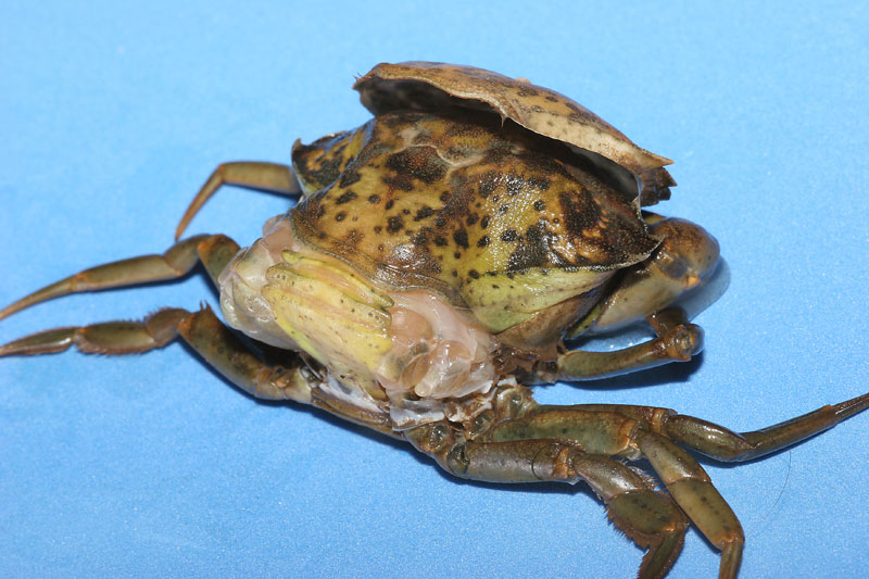 a peeler crab almost finished peeling