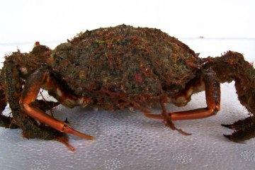 the spider crab