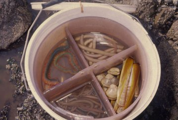 white ragworm and other baits stored for use in a bucket