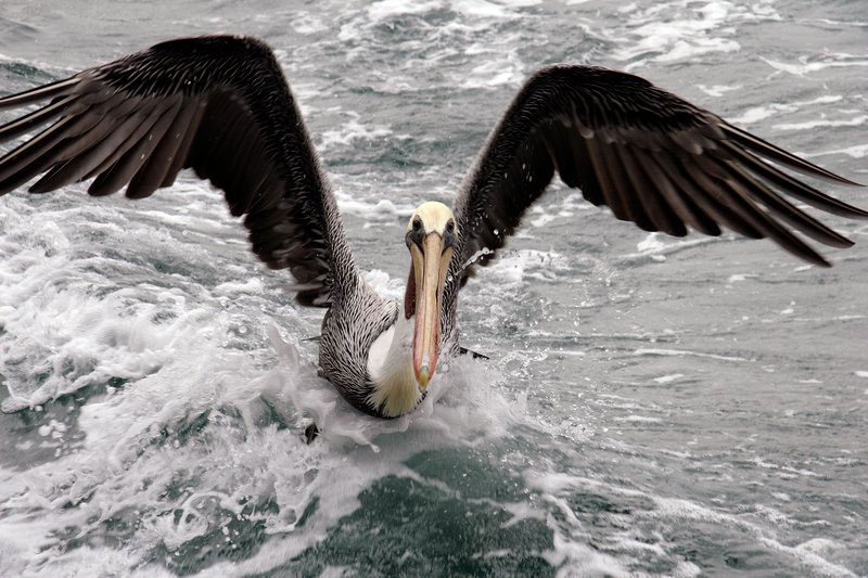 a San Diego pelican looking for bait