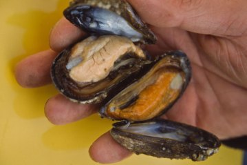 open mussels ready to be used for cod bait