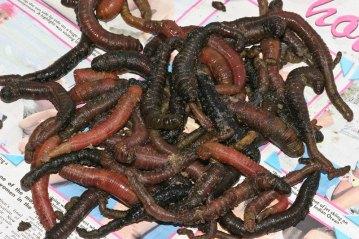 lugworm bait for cod