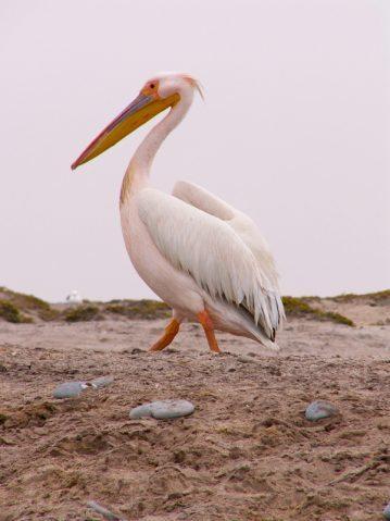 a Namibian pelican