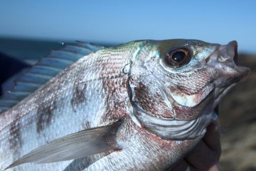 a close up of the head of an Alderney black bream