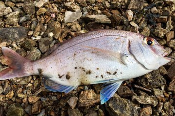 species ID couchs bream