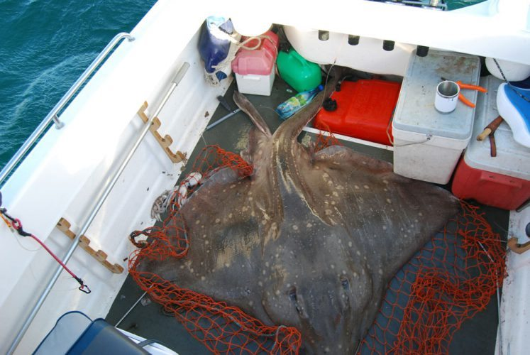 Enormous Crinan Skate big male