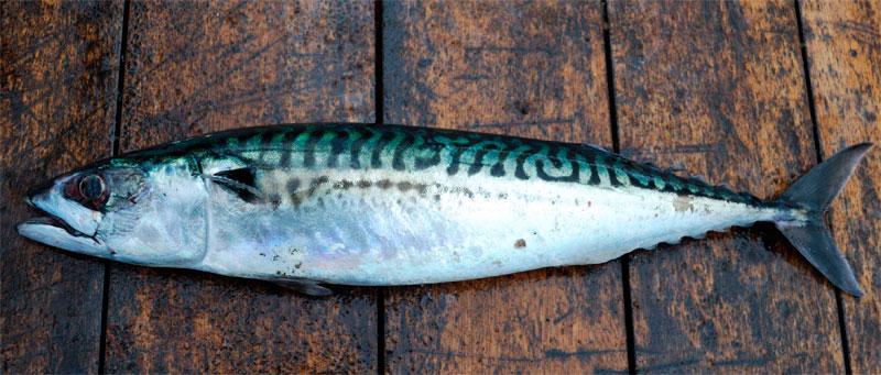 species ID mackerel