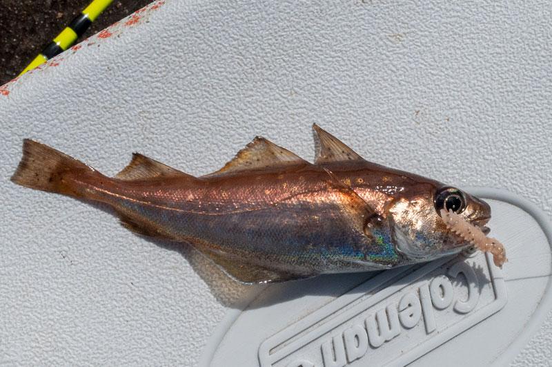 species ID poor cod