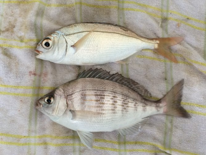 species ID red bream
