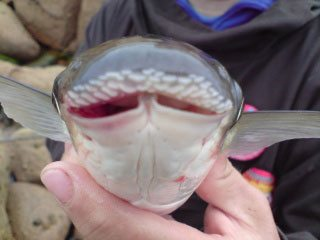 species ID thick lipped grey mullet