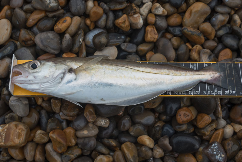 species ID whiting