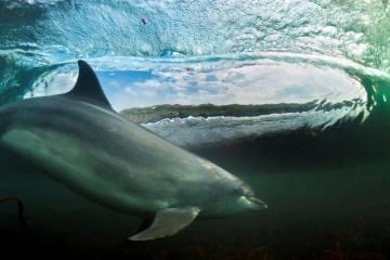 dolphin surfing © George Karbus 2013