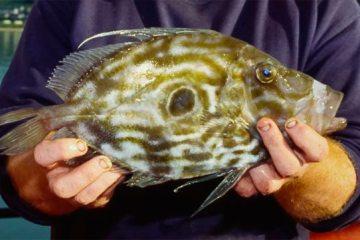 species ID john dory