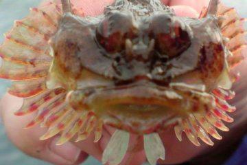 species ID long spined sea scorpion