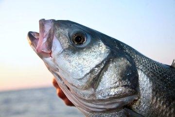 a close up of a bass