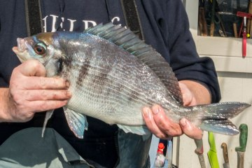 species ID black bream