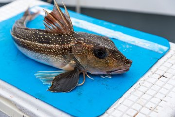 species ID grey gurnard