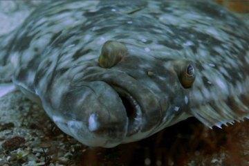species ID halibut