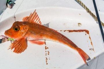 species ID red gurnard
