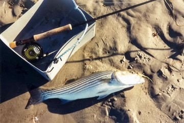 a fly caught striped bass on the beach