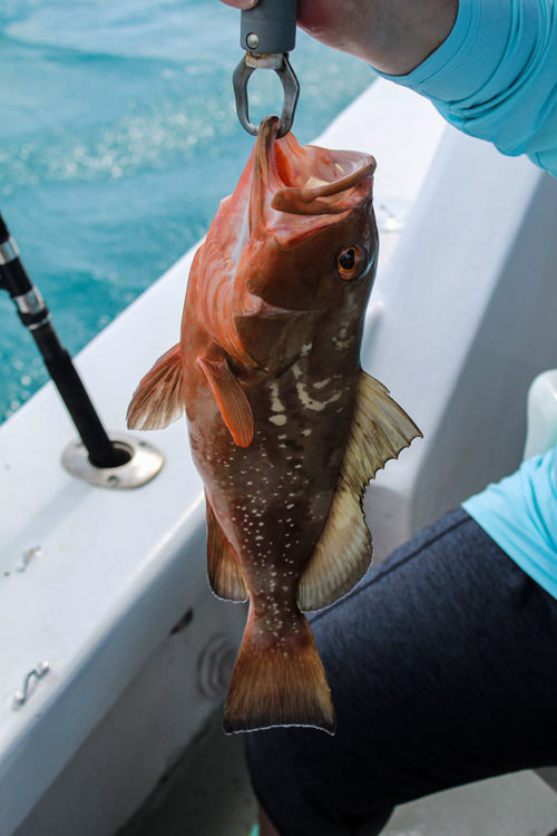Red grouper on Rampage Charters