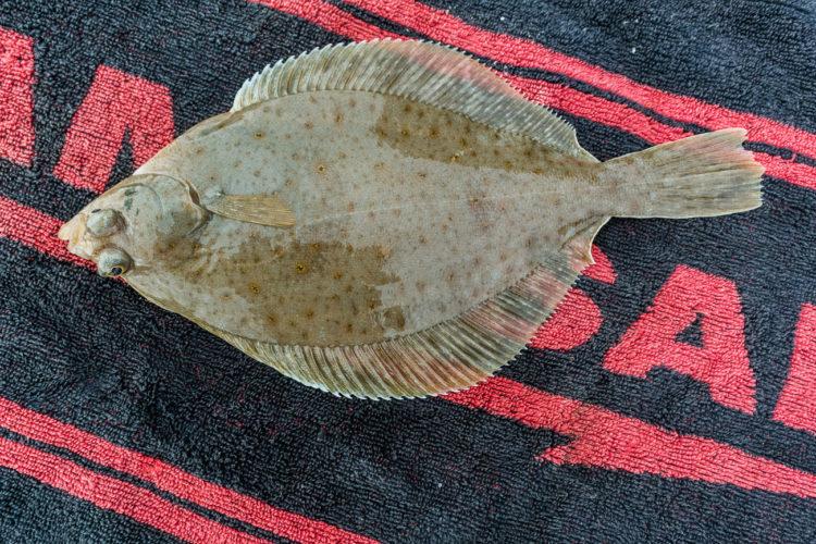 a shore caught dab