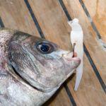 black bream on squid bait