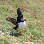 a local inhabitant the puffin