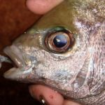 a close up of the head of a shore caught black bream