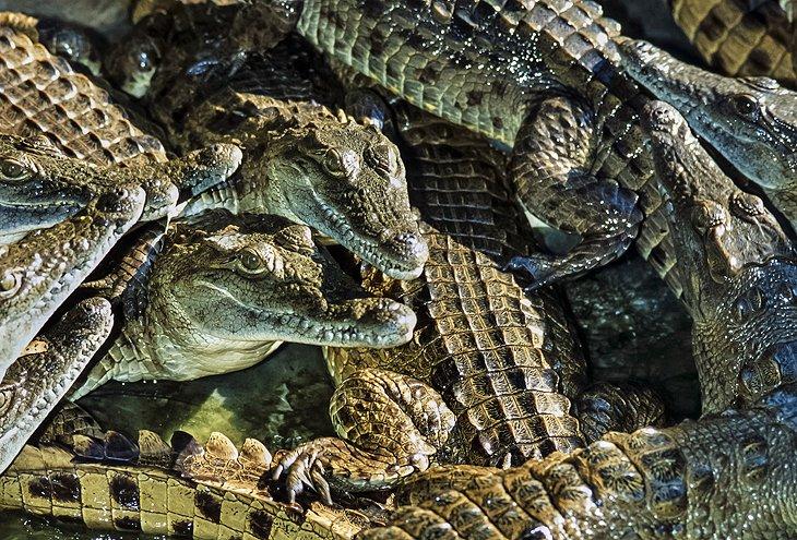 Crocodiles at Mamba Village