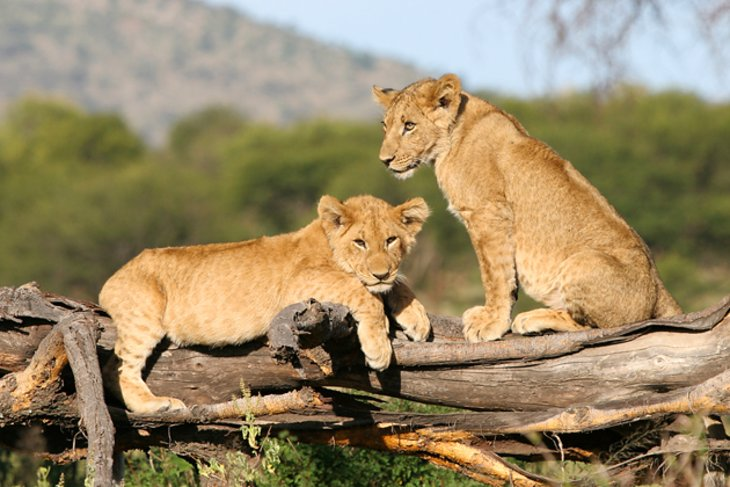 Large herds of lion in Serengeti National Park