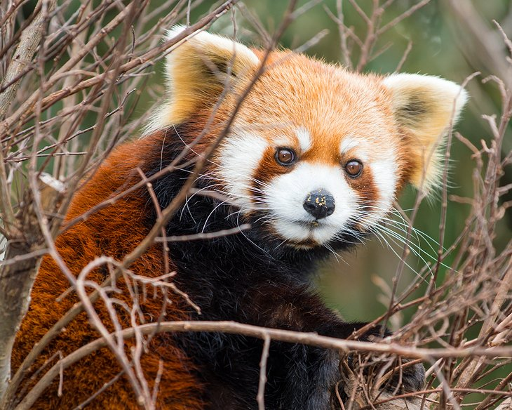 Red Panda at the National Zoological Park