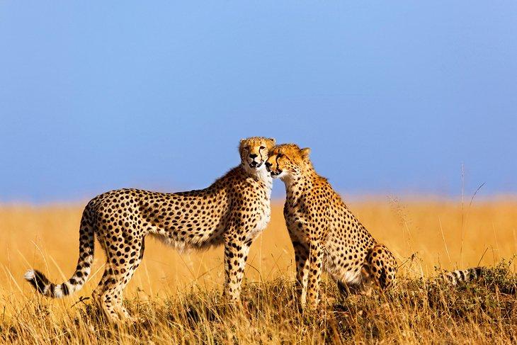 Dünyada Gezilecek Yerler Masai Mara