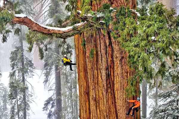 Secuoya Gigante en las montañas de California
