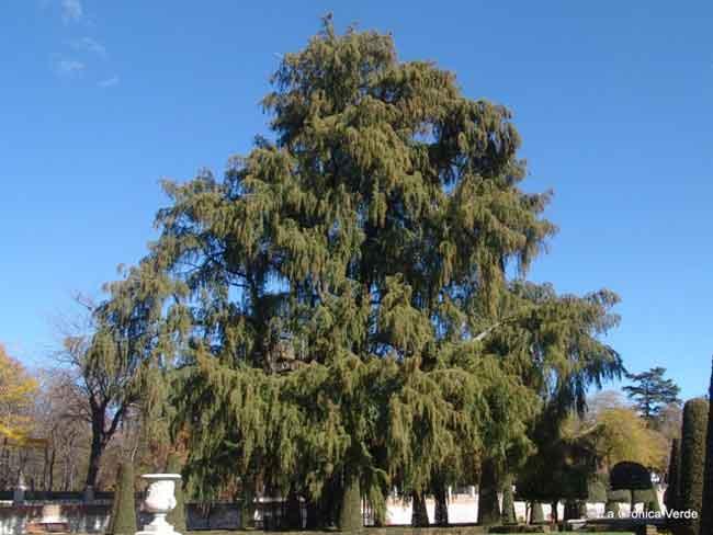Ciprés calvo el árbol más viejo del Retiro