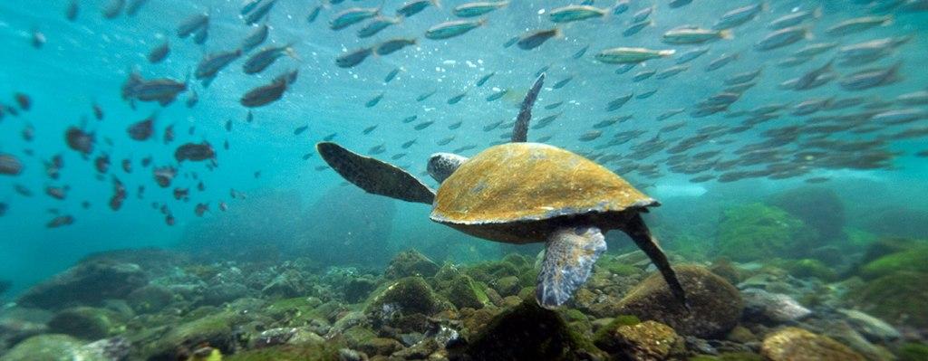 Turtle swimming galapagos