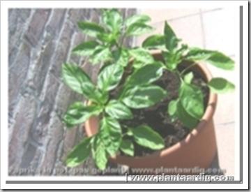 Grote Potplanten Voor Buiten.Paprika Op Het Terras Serie Groenten In Potten Deel 13 Groenteninfo