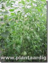Coeur-de-Boeuf-tomaten (1)