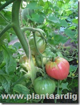Coeur-de-Boeuf-tomaten (8)