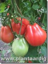 Coeur-de-Boeuf-tomaten-Corazon (2)