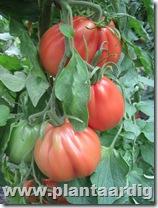 Coeur-de-Boeuf-tomaten-Corazon (3)