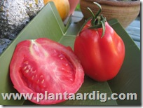 Coeur-de-Boeuf-tomaten-Corazon (4)