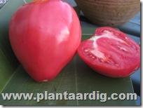 Coeur-de-Boeuf-tomaten